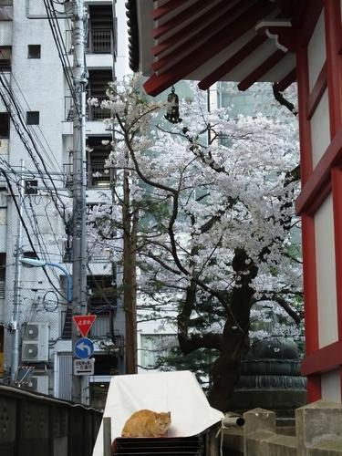 taisoji の猫と桜