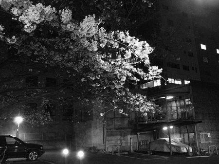 新宿御苑外周北側の夜桜